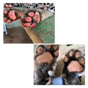 Para regeneração das patas, onça fez ozonioterapia. As fotos mostram como as patas no animal estavam quando chegou e a forma que saiu. — Foto: Governo de MS/ Divulgação